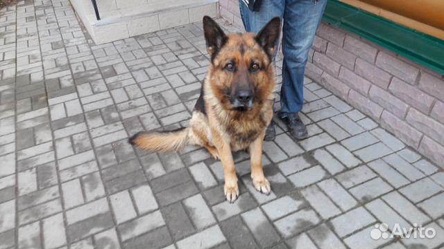 Липецк: продаются щенки немецкой овчарки - объявление n 25078350