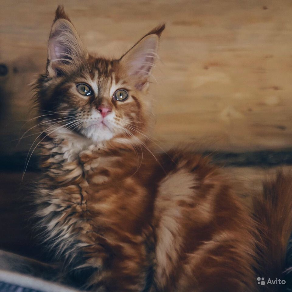 Мейн-кун котенок обаяшка в Москве - фотография № 3