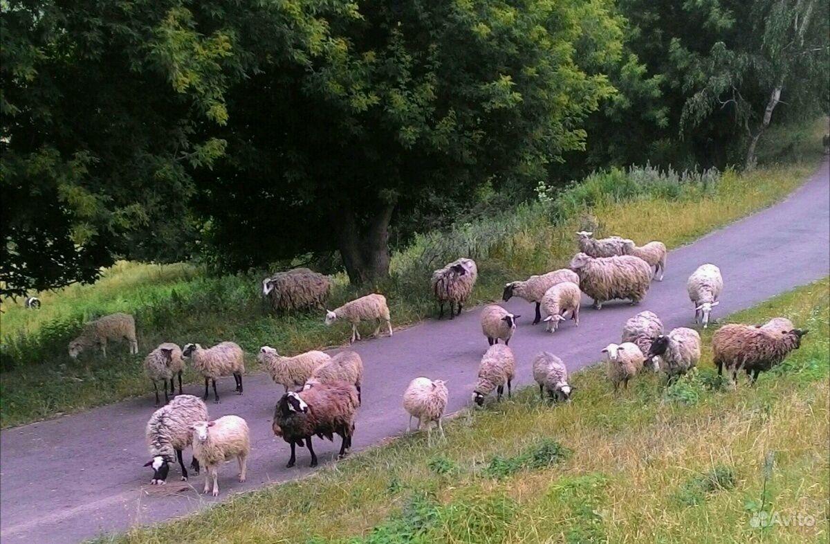 Овцы в Курчатове - фотография № 1