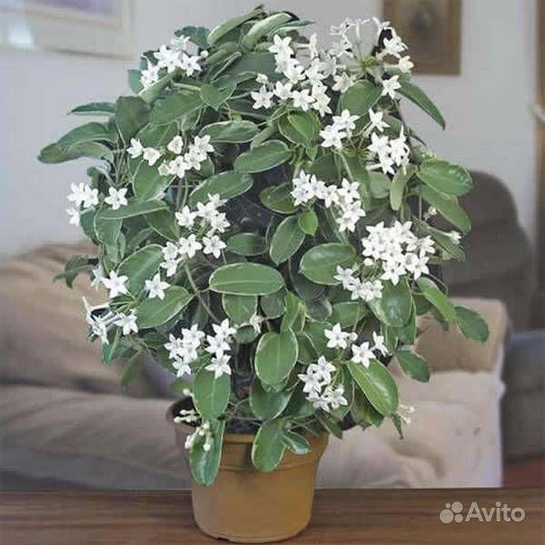 Хойя (цветущая) купить на Зозу.ру - фотография № 10
