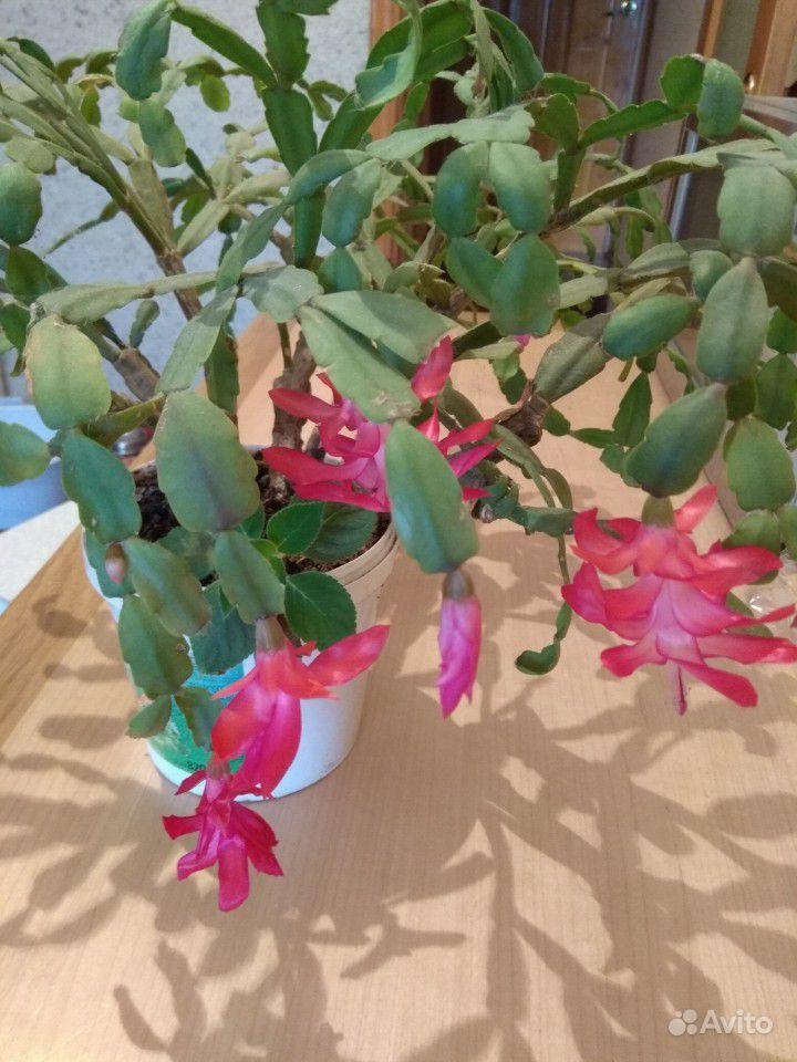 Комнатные цветы купить на Зозу.ру - фотография № 4