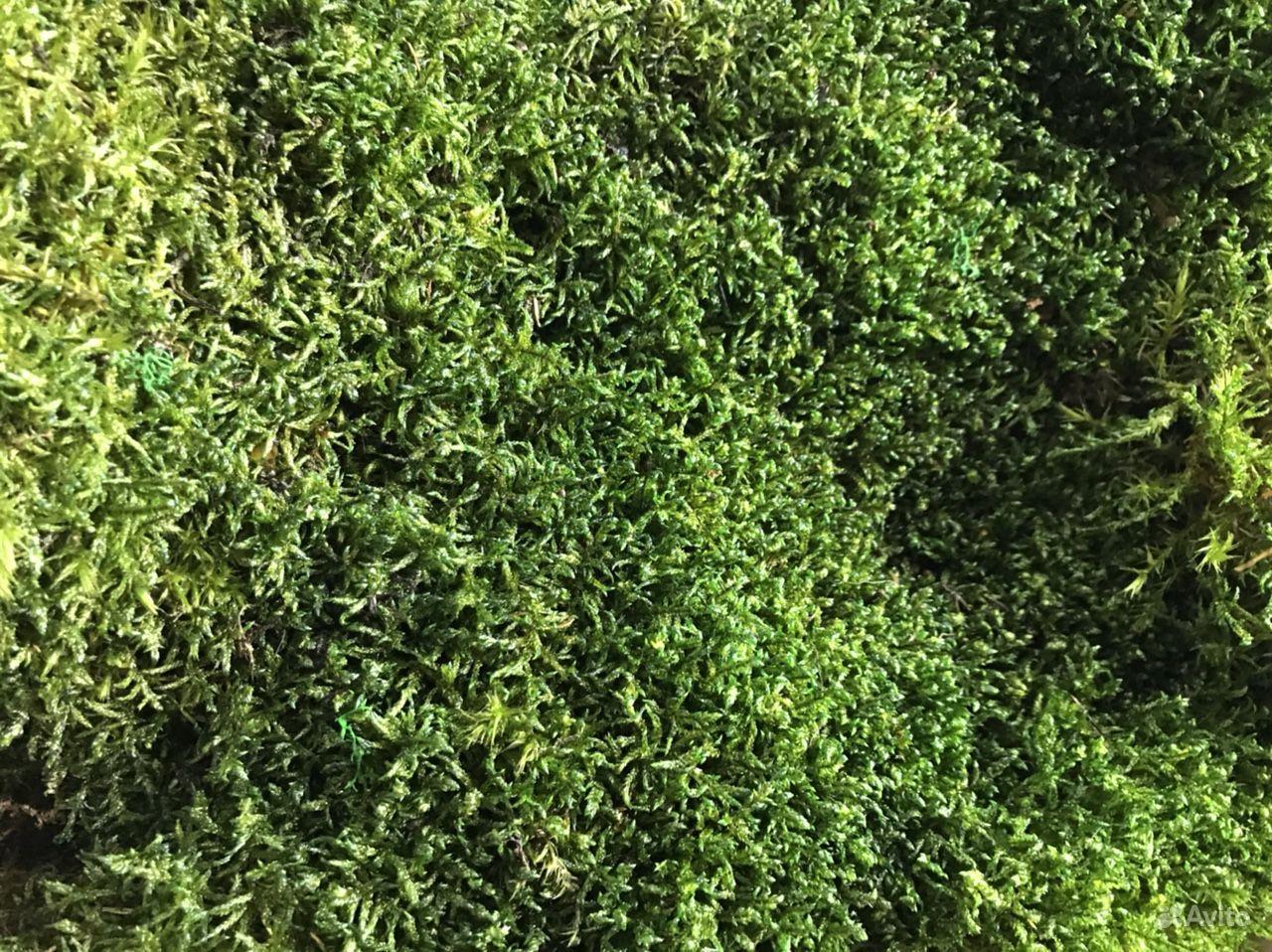 Стабилизированный мох пластовой (толстый) купить на Зозу.ру - фотография № 4