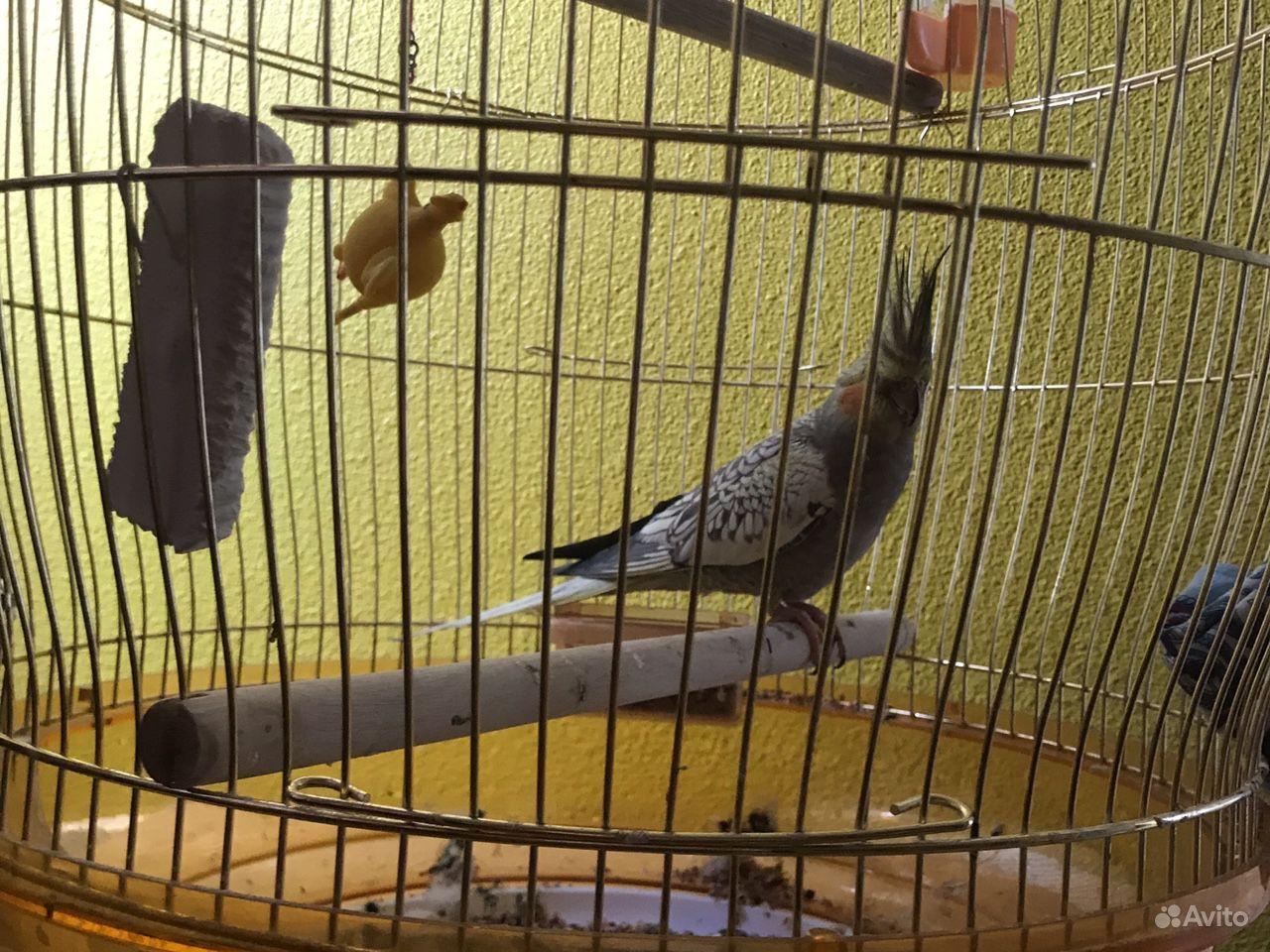 Попугай корелла купить на Зозу.ру - фотография № 3