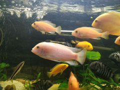 Рыба(Красная Зебра)