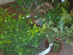 Взрослые деревья:кумкват(мандарин) лимон,апельсин