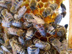 Плодные пчеломатки Карника и Карпатка