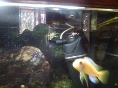 Рыба цихлиды
