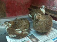 Семья перепелов Целадон, несущих голубые яйца