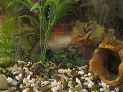 Рыбка - жемчужная гурами