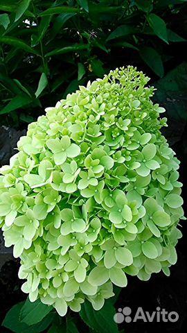 Купить многолетние цветы в вологде необычный подарок успешному мужчине