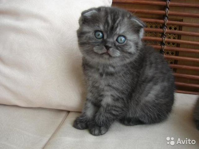шотландские вислоухие котята фото окрас