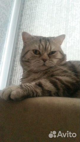Объявление отдам британского кота работа в балахне свежие вакансии хлебозаводе