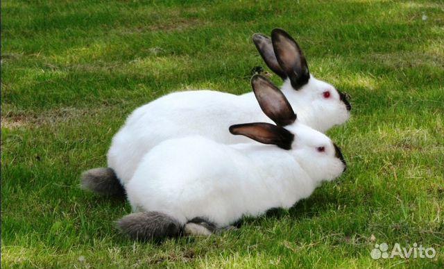 cefbcec9adc2 Кролики чистопородные с доставкой от фермера - купить, продать или ...