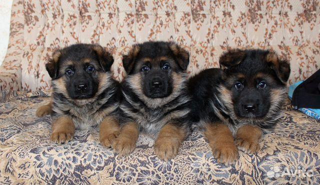 Красивые немцы из питомника. Черные и черно-рыжие  89156904512 купить 1