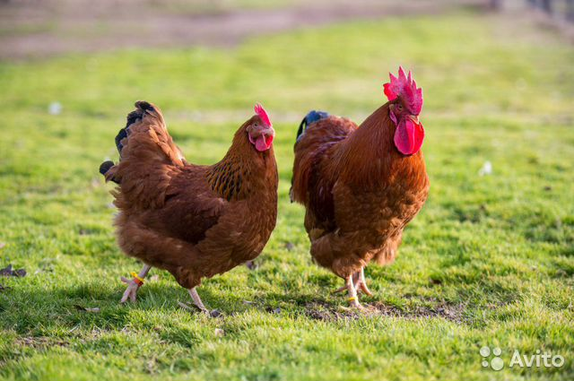 Chickens-pullets buy 3