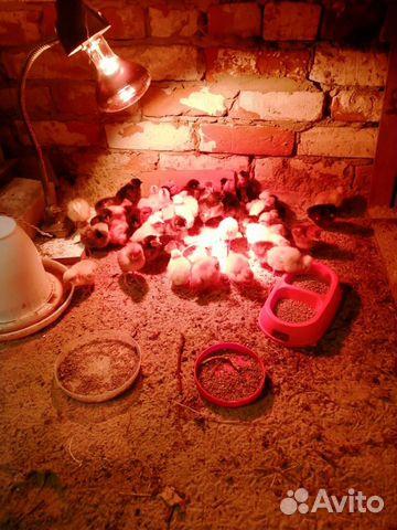 Домашние цыплята купить 1