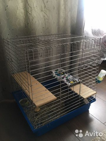 Chinchilla (with cage) 89202736904 buy 3