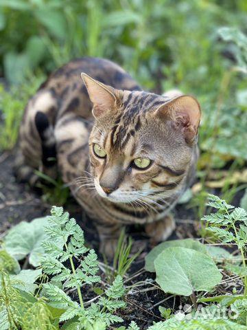 Бенгальский котик вязка  купить 1