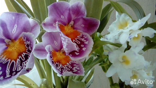Орхидея мильтониопсис  89856003502 купить 1