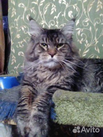 Котята Мейн-кун  купить 8