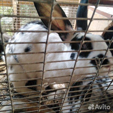 Кролики  89095041049 купить 6