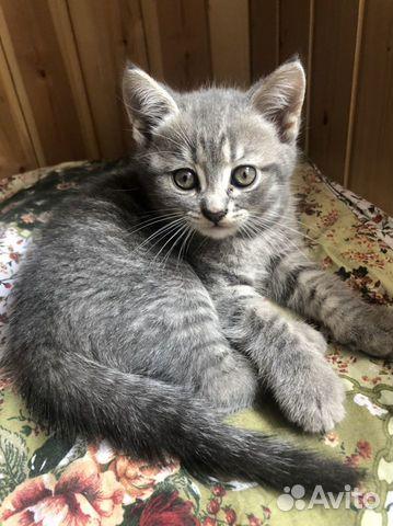 Вислоухие котята  89105471513 купить 6