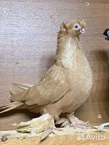 Узбекские голуби  89134552444 купить 9