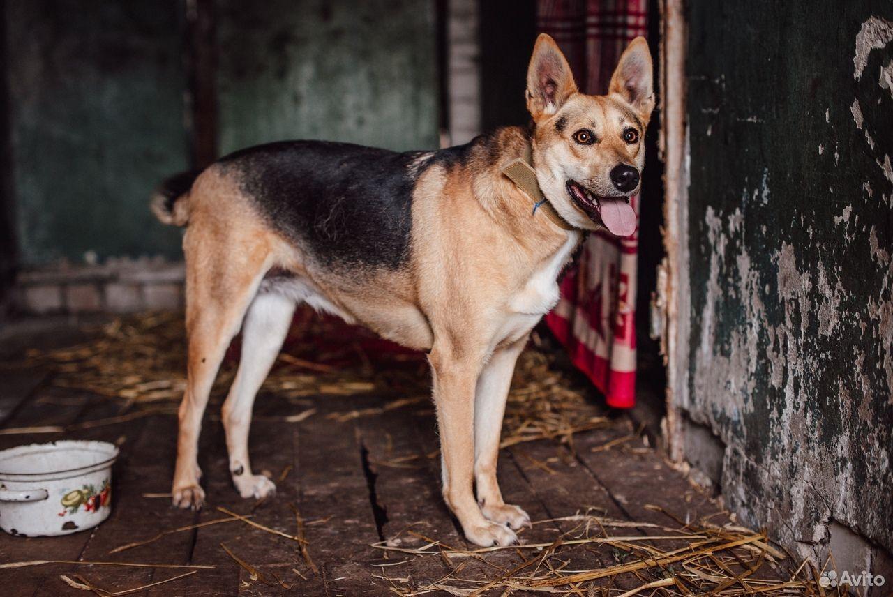 Собака Дана ищет дом  89105364195 купить 1