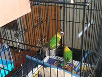 Попугай Неразлучник масковый