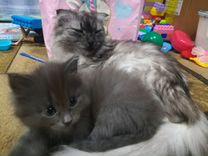 Шотландские котята, Скоттиш-фолд, Скоттиш-страйт