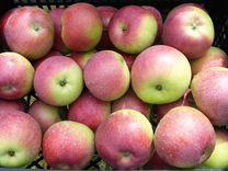 Яблоки Бородинка