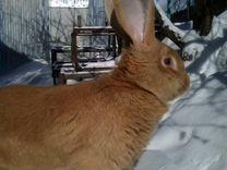 Кролики-великаны (до 12 кг.)
