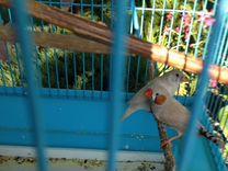 Птенцы амадины