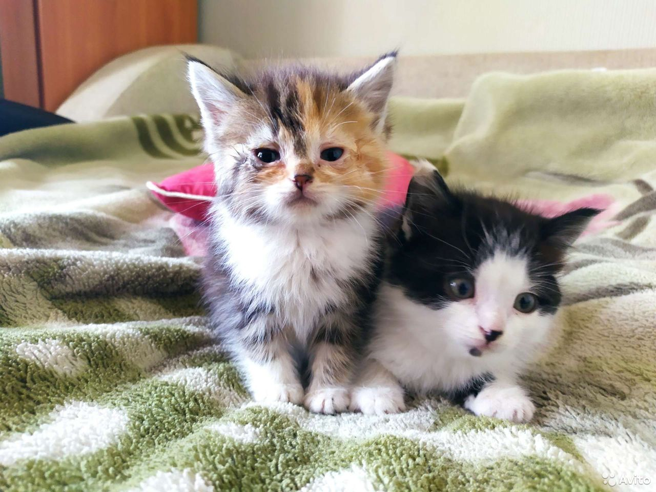 Kittens in good hands 89155032614 buy 1