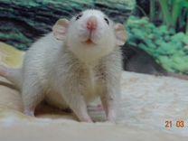 Дамбо крысята - красивые ребята )