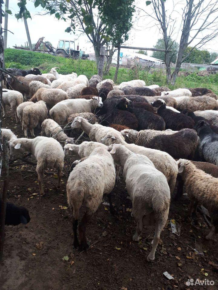 Овцы  89805776608 купить 2