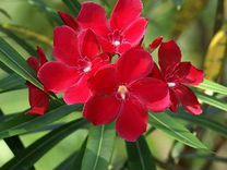 Олеандр красный