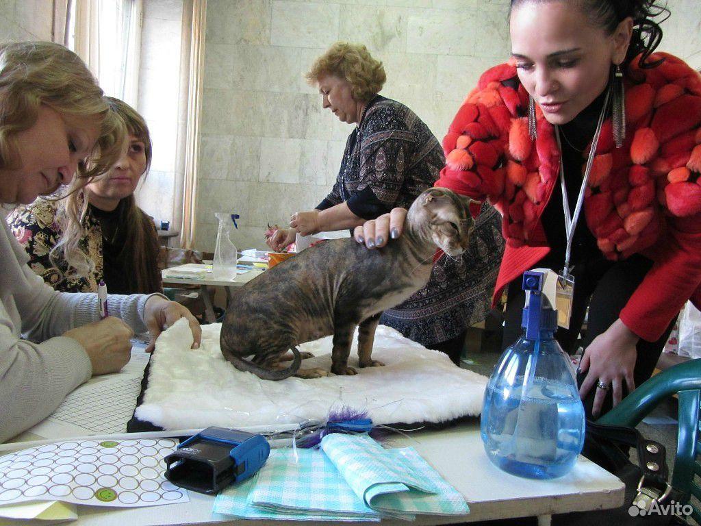 Отдадим кошечку породы Украинский Левкой  89147704048 купить 2
