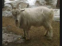 Козочка и козел на племя