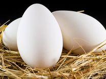 Инкубационное яйцо куриное